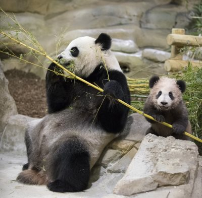 bébé panda beauval 2018